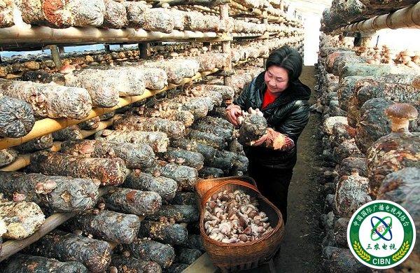 万荣香菇深加工产品首次出口东南亚