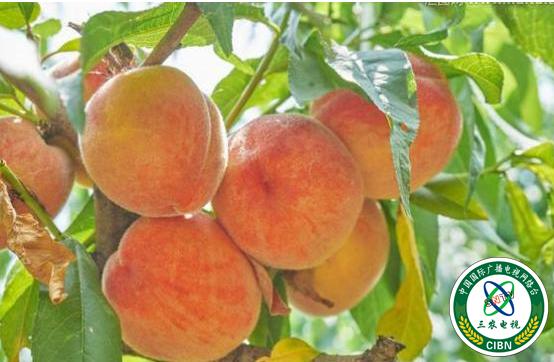 同樣種桃子,價格為何會冰火兩重天?